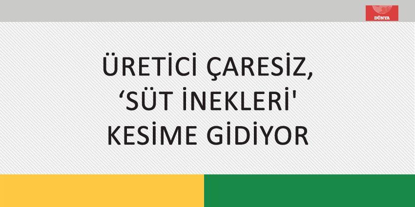 ÜRETİCİ ÇARESİZ, 'SÜT İNEKLERİ' KESİME GİDİYOR
